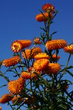 Orange flowers. Glow bright in the summer sun Stock Image