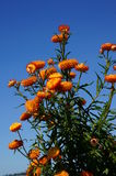 Orange flowers. Glow bright in the summer sun Stock Photos