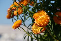 Orange flowers. Glow bright in the summer sun Stock Photography