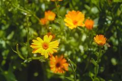 Orange flowers on a green background. Blooming buds ready to charm passers-by Royalty Free Stock Images