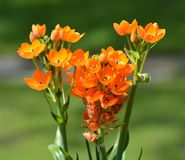Orange flowers with green background Stock Photos