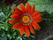 Orange flowers Royalty Free Stock Photos