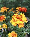 Orange flowers in green bushes stock photos