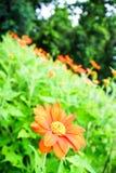 Orange flowers. In green field stock photo