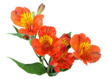 Orange flowers and green leaf Stock Image