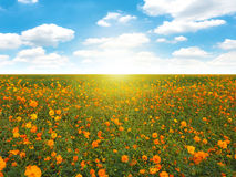 Free Orange Flowers In The Field On Blue Sky Background. Stock Photography - 83036922