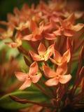 Orange Flowers Royalty Free Stock Image
