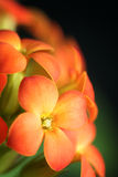 Orange Flowers Of Kalanchoe Blossfeldiana Royalty Free Stock Images