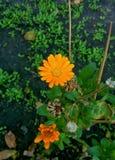 Flowers of orange color. Orange flowers and ladybug Stock Image