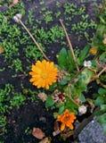 Flowers of orange color. Orange flowers and ladybug Royalty Free Stock Image