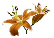 Orange flowers  lily on white isolated background with clipping path  no shadows. Closeup. Royalty Free Stock Photography