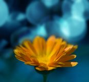 Orange flowers. Marigold flower in the meadow in the night light Royalty Free Stock Photo