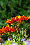 Orange flowers over green Stock Image
