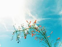 Orange flowers photographed  under the sun light with beautiful sky and clouds in the background. Plant green red leaves beautiful sky clouds background royalty free stock image