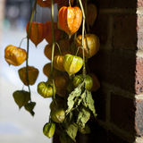 Orange flowers of Physalis Royalty Free Stock Photo