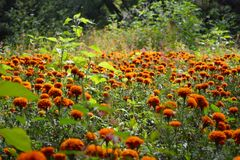 Orange flowers. Flowers and plants ni the wood Stock Images