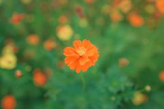 Orange flowers are prominent. Behind the blur royalty free stock photography