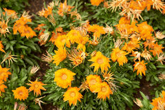Orange Flowers with rain drops, Wide angle,. Wide angle shot of orange flowers with fresh rain drops Stock Photo