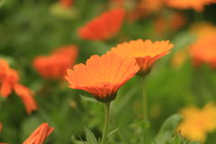 Orange flowers after the rain Royalty Free Stock Photography