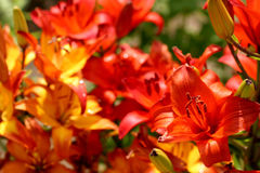 Orange flowers. Orange and red  flowers at dacha Royalty Free Stock Photography