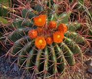 Orange flowers of the red tined barrel cactus Stock Photos