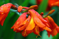 Orange Flowers Сrocosmia with raindrops. Royalty Free Stock Photo