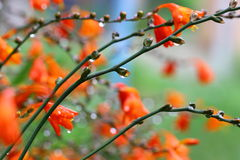 Orange Flowers Сrocosmia with raindrops Stock Photography