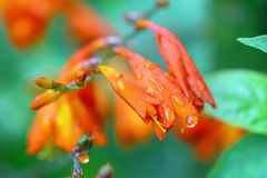 Orange Flowers Сrocosmia with raindrops. Royalty Free Stock Photography