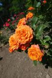 Orange flowers of rose. In the garden stock image