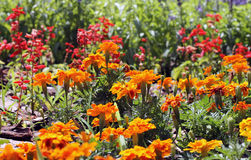 Orange flowers Stock Photo