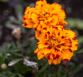 Orange flowers. Selective focus with shallow depth of field. In the garden on a sunny day. Orange flowers. Selective focus with shallow depth of field Royalty Free Stock Image