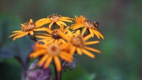 Orange flowers stock footage