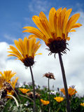 Orange flowers and sky. Beautiful orange flowers colors and sky contrast Royalty Free Stock Photo