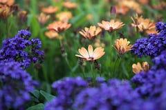 Orange flowers surrounded by purple flowers in green field stock photo