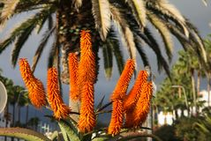 Orange flowers in Tenerife stock image