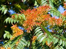 Orange flowers on the tree in nature.  Royalty Free Stock Photo