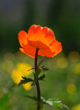Orange flowers Trollius Asiaticus Stock Photo