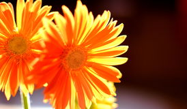 Orange flowers. Two orange flowers with light from the back. Orange gerber stock images