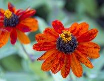 Orange flowers. Two vibrantly orange flowers in a garden royalty free stock photo