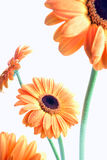 Orange flowers on white (gerbera) Stock Photography