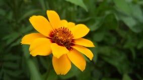 Orange  flowers. Yellow,  orange, flower, morning, sky, grass, garden Stock Photo