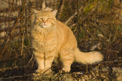 Orange fluffy cat looking away outside in yard Stock Image