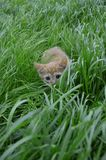 Orange fluffy kitten hiding in the green grass on a summer day. Looks round big big eyes forward royalty free stock images