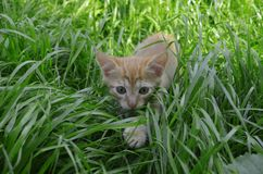 Orange fluffy kitten hiding in the green grass on a summer day. Looks round big big eyes forward royalty free stock photos