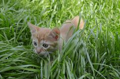 Orange fluffy kitten hiding in the green grass on a summer day. Looks round big big eyes forward stock photos