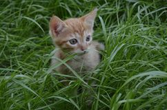 Orange fluffy kitten hiding in the green grass on a summer day. Looks round big big eyes forward stock image