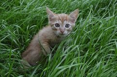 Orange fluffy kitten hiding in the green grass on a summer day. Looks round big big eyes forward royalty free stock image