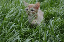 Orange fluffy kitten hiding in the green grass on a summer day. Looks round big big eyes forward royalty free stock photo