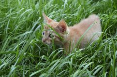 Orange fluffy kitten hiding in the green grass on a summer day. Looks round big big eyes forward stock images