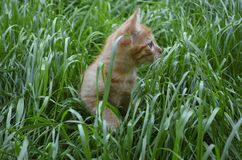 Orange fluffy kitten hiding in the green grass on a summer day. Looks round big big eyes forward stock photo